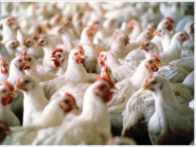 افغانستان میں برڈ فلو کی وبا پھوٹ پڑی، متعدد مرغیاں ہلاک